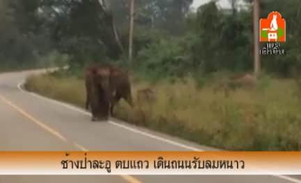 ช้างป่าละอู ตบแถว เดินถนนรับลมหนาว