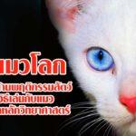 วันแมวโลก: นักวิจัยด้านพฤติกรรมสัตว์แนะวิธีเล่นกับแมวอย่างถูกหลักวิทยาศาสตร์
