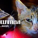 แมวเบงกอล…สืบสายพันธุ์…แมวป่า