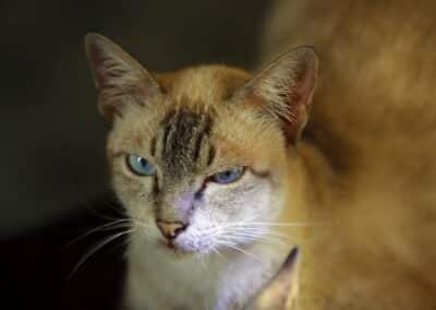 """ทาสแมว """"แมวโคราช"""" สายพันธุ์ผสม ?"""