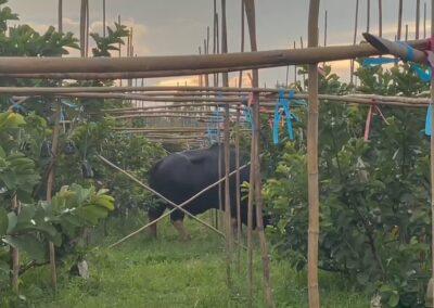 เจ้าทองดี กระทิงดังวังน้ำเขียว เดินกินหญ้าในสวนผลไม้ ชิมฝรั่งหงเป่าสืออย่างสบายใจ