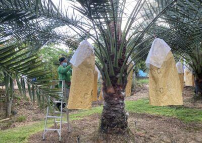 อินทผลัมสวนดังวังน้ำเขียว ออกผลผลิตแล้ว เจ้าของสวนวอนช่วยอุดหนุนเกษตรกรสู้ภัยโควิด
